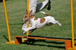 Jack Russel Terrier při cvičení agility