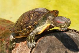 Jak rozmnožit vodní želvy